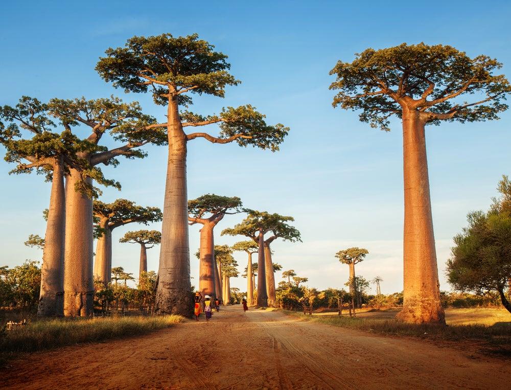 afrika, baobab, affenbrotbaum, madagaskar