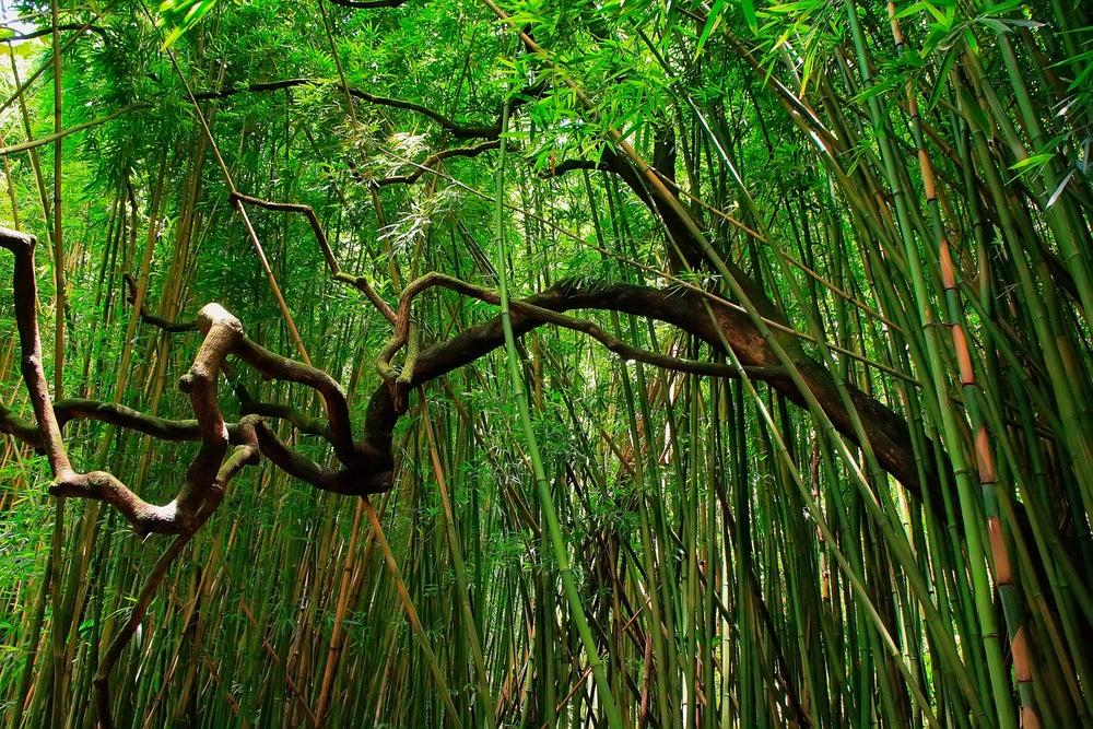 Der Pipiwai-Trail führt durch geheimnisvolle Bambuswälder