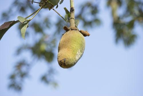 wellness-afrika-baobab-frucht