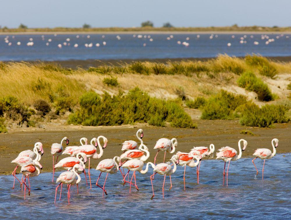 flamingos, camargue, Étang de Vaccarès