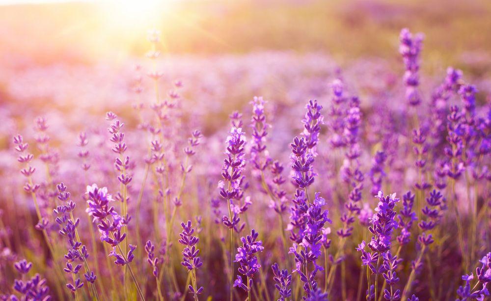 lavendel, wellness, nahaufnahme, sonnenschein, provence