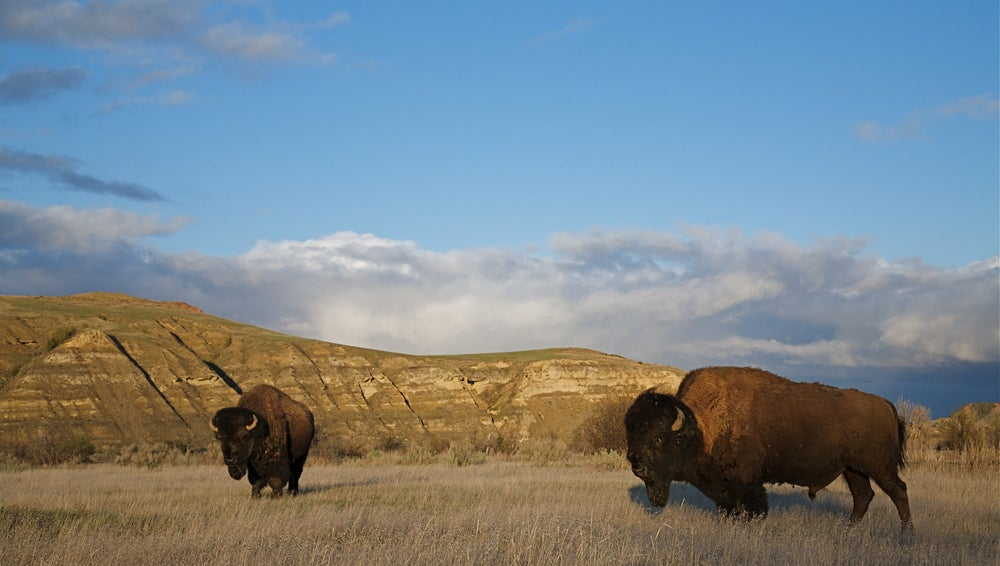 USA-North-Dakota-Theodore-Roosevelt-National-Park-Bisons
