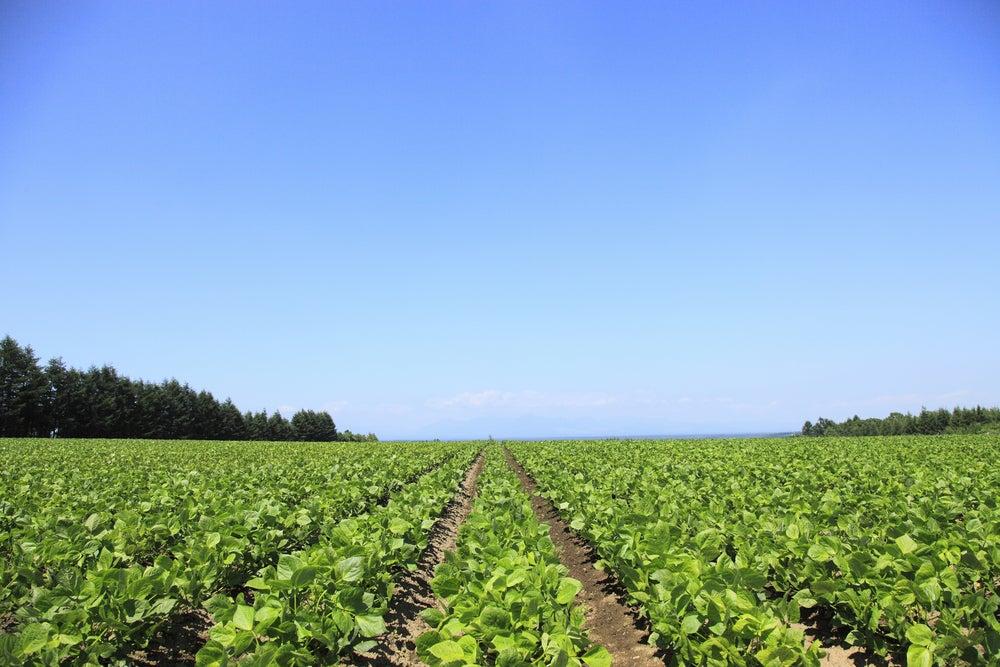 USA-Wachtelbohnen-Pinto-Beans-Feld