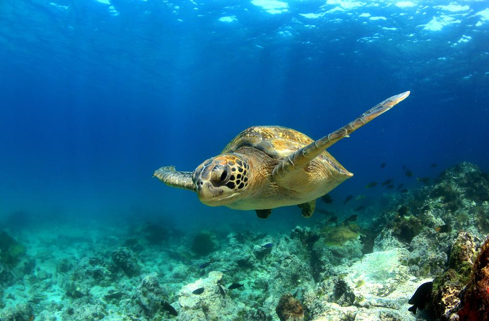 die schönsten pazifik inseln, galapagos inseln, ecuador, schildkröte, unter wasser