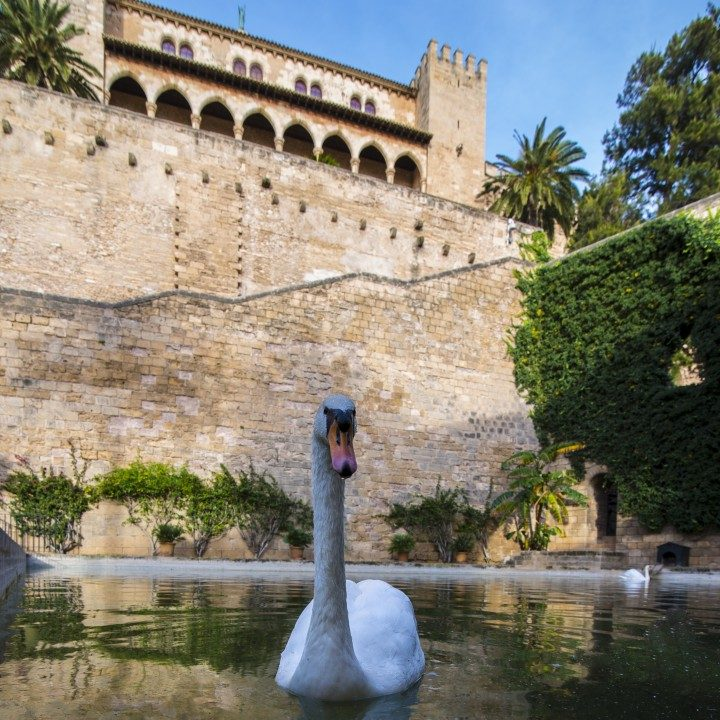 palma, Königspalast La Almudaina, schwan