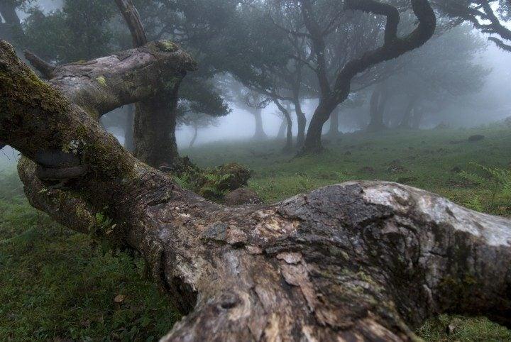 Lorbeerbäume, Nebel, Urwald